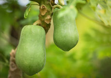 Papaya On the tree. In the orchard royalty free stock photos