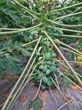 Papaya tree. With plenty of papaya fruits on it stock images