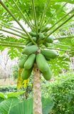 Papaya tree. Is sparsely branched tree with spirally arranged leaves confined to the top of the trunk. Papaya fruit ripe is feel soft and skin has attained an royalty free stock photography