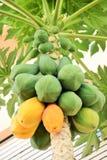 Papaya tree with partly ripe fruits Royalty Free Stock Image