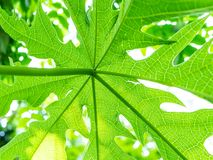 Papaya tree plant growing nature view from under. royalty free stock photo