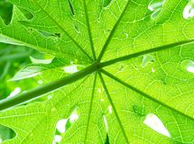 Papaya tree plant growing nature view from under. stock images