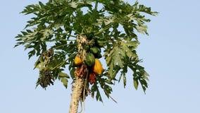 Papaya tree stock footage