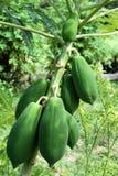Papaya tree. With plenty of Papaya fruits Stock Images