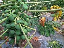 Papaya tree. With plenty of papaya fruits on it stock image
