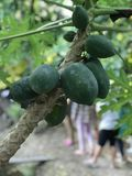 Papaya tree produce the fruits. Papaya tree produce the fruits in Thailand Stock Photos