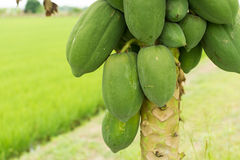Papaya tree in the rice fields. Papaya fruit is a source of nutrients such as provitamin A carotenoids, vitamin C, folate and dietary fiber stock photo
