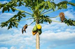 Papaya tree. On sky backgroud royalty free stock photography