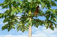Papaya tree. On sky backgroud stock photos