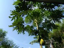 This Papaya tree stock photo