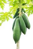 Papaya tree. Tropical fruit. Royalty Free Stock Photography