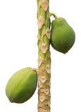 Papaya tree. On white background stock photography