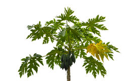 Papaya tree Royalty Free Stock Photo