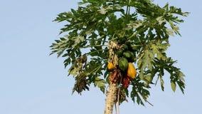 Papaya tree stock video