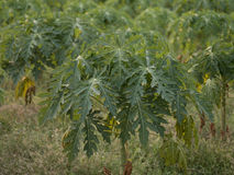 Papaya tree. Young papaya tree growing on a farm in a field of papaya plant. healthy fruits with lot of vitamin, antioxidant and antiaging Royalty Free Stock Photography