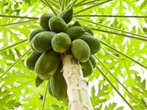 Papaya trees. Royalty Free Stock Photo