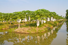 Papaya trees in the farm Stock Image