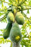 Papaya trees. Papaya trees nature in the garden royalty free stock image