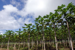 Papaya trees in Papaya orchard Stock Image