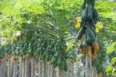 Papaya Trees in a row Royalty Free Stock Photography