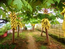 Papaya trees Royalty Free Stock Photos