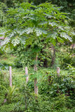Papaya Trees. Papaya tree growing wild along the foothills Stock Photography
