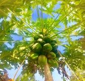 Papaya verde Imagen de archivo libre de regalías