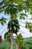Papayaanlage Stockbilder