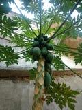 Papayaanlage Stockfotos