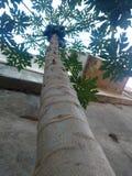 Papayaanlage lizenzfreies stockfoto