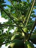 Papayaanlage mit Früchten stockfotografie