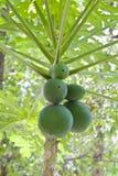 Papayabäume. Stockfotos