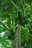 Papayabaum lizenzfreie stockfotografie