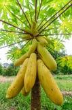 Papayabaum stockfotografie