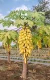 Papayabaum im Obstgarten von Thailand Lizenzfreie Stockfotos