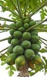 Papayabaum mit Bündel Früchten Stockbilder