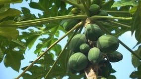 Papayabaum mit Früchten stock video