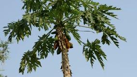 Papayabaum mit fuits stock video footage
