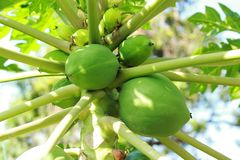 Papayabaum mit grünen Früchten stockbilder