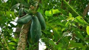 Papayabaum mit Papayas lizenzfreie stockbilder