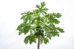 Papayabaum mit roher Papayafrucht und -blättern Lizenzfreie Stockfotos