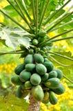 Papayabaum und -frucht Stockfoto