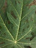 Papayablad Arkivbild