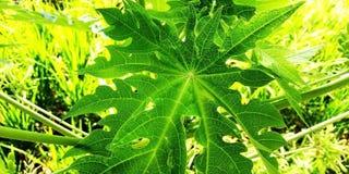 Papayablad arkivfoton