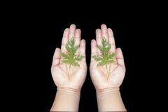 Papayablatt in der Hand auf schwarzem Hintergrund Stockfotos