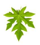Papayablatt lokalisiert auf Weiß Stockfoto
