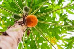 Papayaen är mogen på trädet Royaltyfria Foton