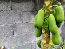 Papayaen Royaltyfri Fotografi