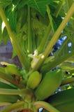 Papayafrucht im Baum mit Blume Stockfotos
