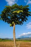 Papayafrukt har många vård- fördelar till kroppen Arkivfoton